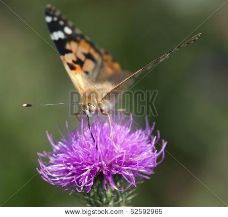 Painted Lady (vanessa Cardui) On Purple Flower.