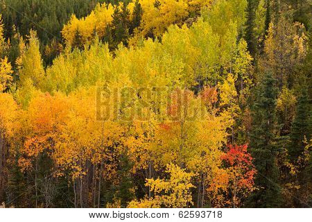 Golden Fall Aspen Trees Yukon Boreal Forest Taiga
