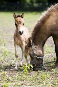 Miniature horses mother with her cute little cub poster
