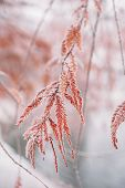 Winter background with snow-covered frozen japanese branches tree in warm winter tones poster