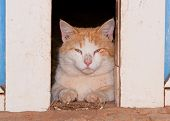 White and ginger tomcat looking through barn doors at the viewer poster