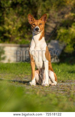 Small Hunting Dog Breed Basenji