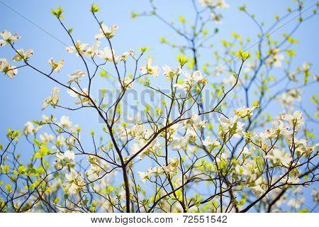 White flowering dogwood tree (Cornus florida) in bloom in blue sky