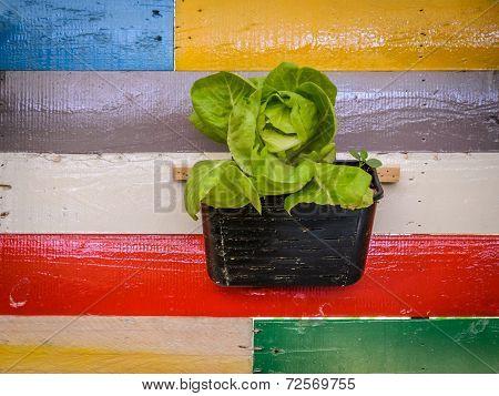 Butterhead Lettuce Plant