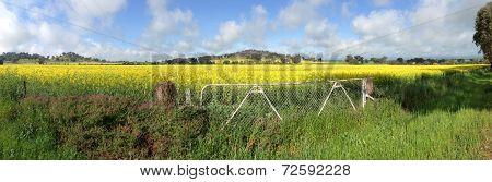 Cowra Canola Field Panorama