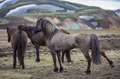 Isolated icelandic horses in the countryside of Landmannalaugar, Iceland poster