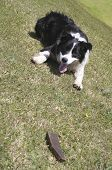 Playful black & white Australian Border Collie dog waiting to fetch the stick poster