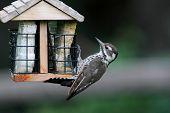 Arizona Woodpecker (Picoides arizonae) also known as Strickland's on a suet feeder poster