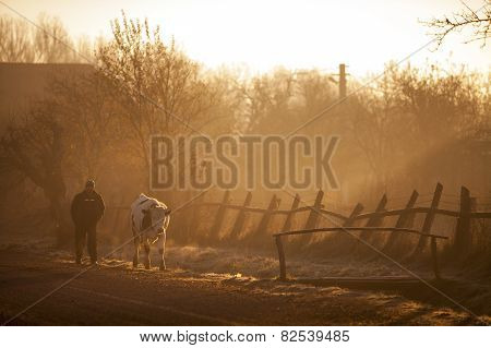 Cow And Man At Sunrise