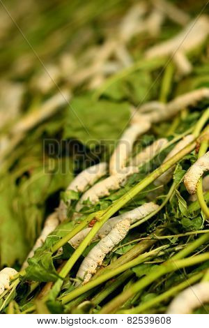 Fresh White Maggots In The Tray At The Garden