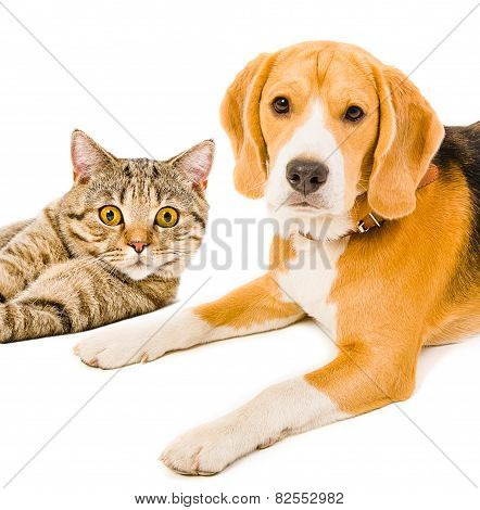 Portrait of a beagle dog and cat Scottish Straight lying together isolated on white background poster
