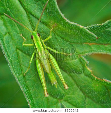 Big Green Grasshopper On The Leaves