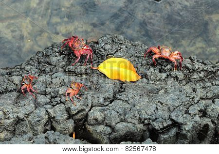 Sally Lightfoot Crab Ore Red Cliff Crab From Galapagos Islands, Ecuador