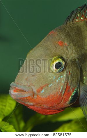 Cichlid Portrait