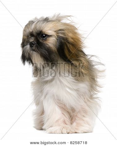 Shih Tzu 1 year old with windblown hair in front of white background poster