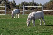 Two white pony on pasture in summer day poster