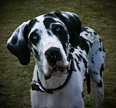 Photo of the face of a blue-eyed, black and white spotted Great Dane looking inquisitively directly at into the camera poster