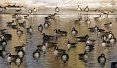 A group of geese fill this pond in wintertime. poster