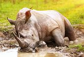 South African wild rhino bathing in the mud, big dangerous horned animal, big five member, safari game drive, exotic tourism expedition poster
