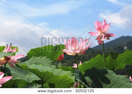 Lotus flowers and blue sky