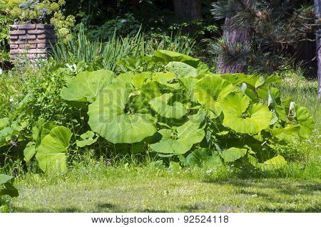 Common Butterbur (petasites Hybridus)