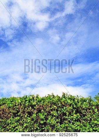 Privet Hedge background