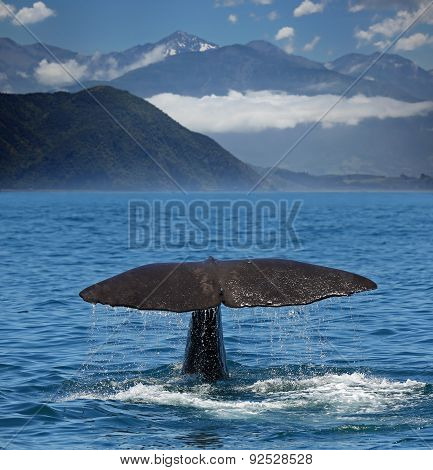 Sperm whale starts a deep dive at the coast near Kaikoura (New Zealand)