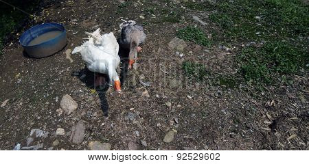 Two Big Geese In The Yard Of The Farm