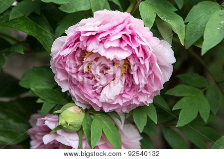 Blossoming bush of double pink peony in the garden