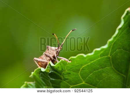 Vermin Bug