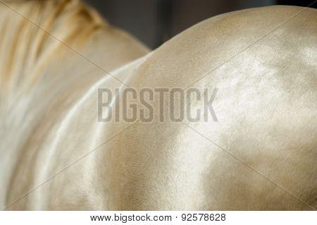 shiny perlino akhal-teke horse coat detail closeup
