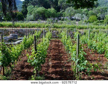 Vines in a garden