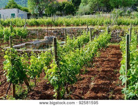 A wine vineyard in spring