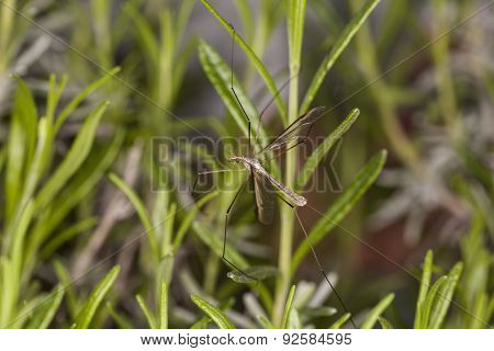 Mosquito On The Grass
