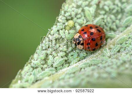 ladybug on leaf with plant louse