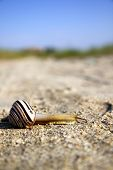 A striped snail slowly crossing a sand road poster