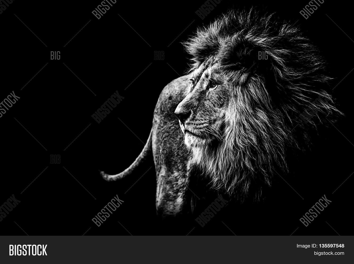 A lion in black and white looks
