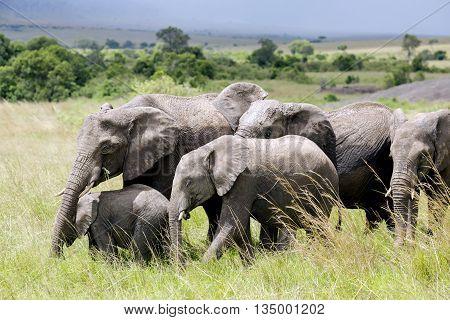 Big family of African bush elephant (Loxodonta africana) grazing in the savannah in Tarangire National Park, Tanzania.