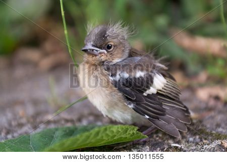 small sparrow is to be ready to leave the nest