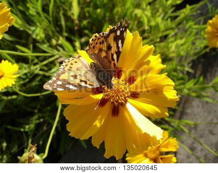 Vanessa cardui (painted ladyl) butterfly on a yellow sunflower flower.
