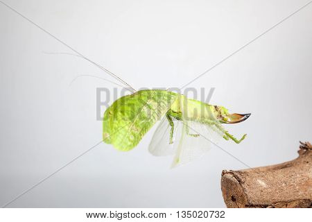 an Katydids of Thailand just fly away