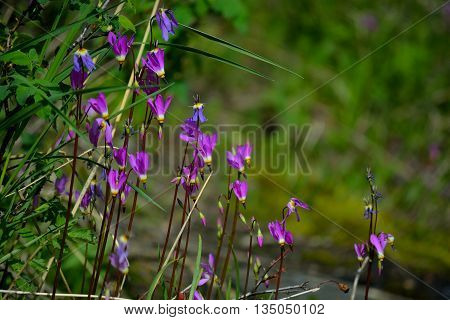Eastern Shooting Star Purple Flower Plant on a Sunny Day