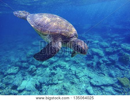 Sea turtle in blue water, sea turtle diving picture, summer holiday in tropical sea