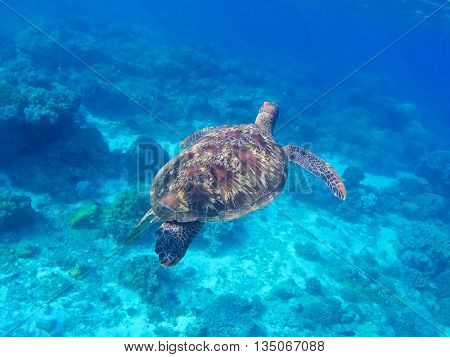 Snorkeling and diving with sea turtle. Green sea turtle swimming in the ocean.
