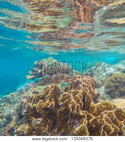 Coral reef in the tropical sea. Yellow and brown coral with coral fishes.