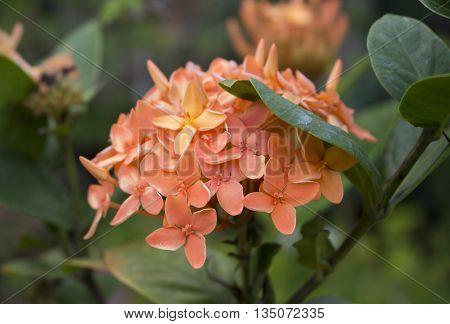 Orange flowers in the garden, tropical flower Ixora in jungle, closeup photo of Ixora flower, exotic flower Ixora image for romantic summer background