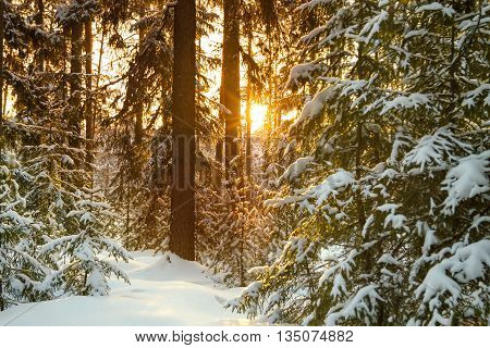 Beautiful winter landscape with the forest and sunset . Winter rural landscape with snow and trees in the forest . Frosty wintry evening sunset in the coniferous forest