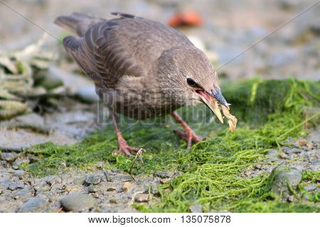 A juvenile Starling swallowing an invertebrate prey