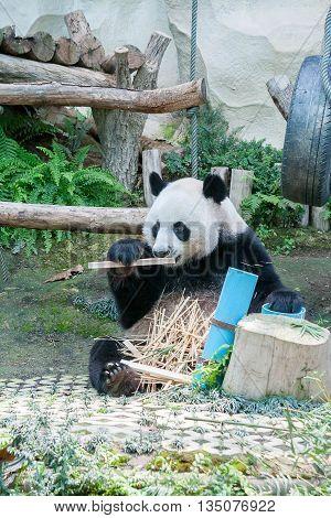 Giant panda eating bamboo in the zoo