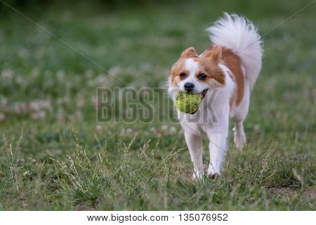 Mini Spitz running with a ball.selective focus